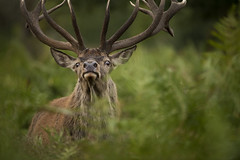 Red Deer stag (Benjamin Joseph Andrew) Tags: park grassland autumn buck adult male courtship one lone single individual looking staring eyeballing wild