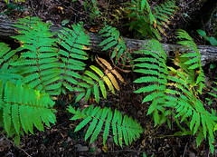 Autumn Ferns (mswan777) Tags: fern plant forest floor tree wood outdoor hike stevensville michigan apple iphone iphoneography mobile green yellow season trail nature quiet