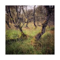 Birch (gerainte1) Tags: hasselblad501 velvia50 film colour trees birch autumn yorkshiredales