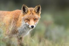 Red fox (Frank Schauf Photography) Tags: animal europa europe mammal netherlands niederlande nordholland northholland redfox rotfuchs säugetier tier vulpesvulpes