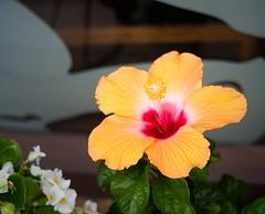 Hibiscus (Bill Morgan) Tags: fujifilm fuji xe1 jpeg 7artisans 35mm f12 exposuresoftwarex5 velvia