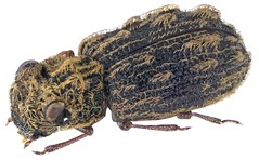 Oomtelecopon setosum Perkins, 2005  PARATYPUS (urjsa) Tags: coleoptera käfer beetle insect hydraenidae oomtelecopon setosum oomtelecoponsetosum southafrica taxonomy:binomial=oomtelecoponsetosum taxonomy:order=coleoptera taxonomy:family=hydraenidae taxonomy:genus=oomtelecopon taxonomy:species=setosum geo:country=southafrica coleopteraus kaefer insekt