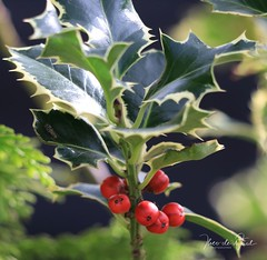 Holy berries (UCD Staff Photography Club) Tags: ucd universitycollegedublin ireland belfield berries holly trees autumn red green