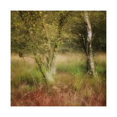 Birch (gerainte1) Tags: birch tree autumn colour yorkshire film velvia50 hasselblad501