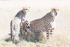 Cheetah family (Thomas Retterath) Tags: natur nature safari nopeople 2018 okavangodelta botswana africa afrika mapula thomasretterath wildlife cheetah acinonyxjubatus gepard felidae raubtiere predator carnivore säugetier mammals animals tiere cub coth5