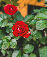 Right place at the right time (babloobgl) Tags: rose red beauty naturesbeauty mobileclicks mobilephotography oneplus oneplus7