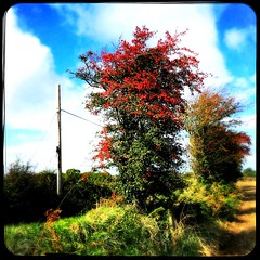 Bountiful Berries (Julie (thanks for 9 million views)) Tags: 100xthe2019edition 100x2019 image84100 hawthorn berries htt telegraphpole wexford ireland irish rural countryside tree htmt hedge field pole nature autumn colour bright red