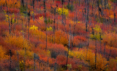Autumn Explosion (tms\) Tags: yukon autumn fall color orange yellow foliage season trees