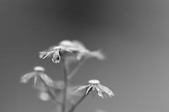 Une larme d'âme (CécileAF) Tags: canon macro monochrome minimalist nature droplets poetic tears