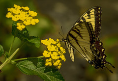 Flutterby (Paul. (mp13 nhnc)) Tags: butterfly lantana insect yellow black green bokeh plant feeding migrating garden blooms blossoms