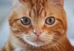 Spritz (En memoria de Zarpazos, mi valiente y mimoso tigre) Tags: closeup cat kitten gato chat gatto ginger orange greeneyes pinknose portraitcat bigeyes tabby nikon