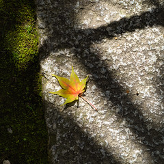 Maple leaf (Tim Ravenscroft) Tags: leaf maple shadows stone moss detail autumn fall kyoto japan