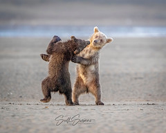 Sibling Antics... (DTT67) Tags: nature canon wildlife 1dxmkii wrestling bears cubs grizzly grizzlies grizzlybears bearcubs coastalbrownbears alaska ak siblings lakeclark