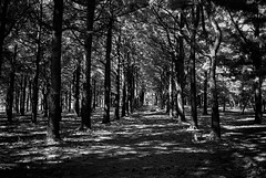 Pine Path (Neil Kesterson) Tags: 35mm bw canon canonet canonet28 derevpan200 fpp kentucky analog blackandwhite f28 film filmcamera filmisnotdead filmsnotdead rangefinder