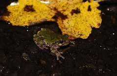Baby Northern Gray Treefrog, Bucks County, Pennsylvania, October 2019 (sstaedtler) Tags: treefrog frog nature outside wildlife amphibian herping cruising outdoors animal pennsylvania buckscountypa