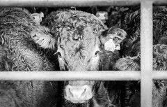Harwood . (wayman2011) Tags: 7artisans55mmf14lightroom5 colinhart fujifilmxe2s wayman2011 bw mono rural farms cows pennines dales teesdale harwood countydurham uk