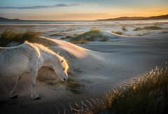 Dune Drifter (yabberdab) Tags: luskentyre isleofharris scotland bbccountryfile childreninneed dunedrifter countryfilecalendar dunes sunset eriskay pony bbccountryfilephotographiccompetition judgesfavourite
