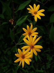 Jerusalem artichoke (murozo) Tags: jerusalem artichoke flower yellow akita japan 菊芋 花 黄 秋田 日本