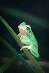 Rainette verte (olivier.ghettem) Tags: zoodeparis zoodevincennes zoo parczoologiquedeparis paris rainette rainetteverte amphibien grenouille frog hylaarborea europeantreefrog vert
