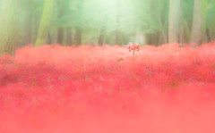 やさしい (Tomo M) Tags: field nature flower autumn soft pastel light bokeh one red geen 巾着田 彼岸花 曼殊沙華