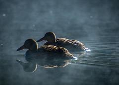 Morning Fog (rlt64) Tags: ducks water fowl wildlife california nature