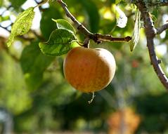 [Autumn] (pienw) Tags: autumn apple