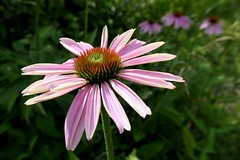 Sunny Coneflower (shelly.morgan50 (mostly off)) Tags: shellymorgan50 panasoniclumixdczs200 wildflower echinacea pinkconeflower coneflower flowers flowerphotography macro bokeh sunny light sunshine bright colorful pink closeup spikes details prairie flower midwest usa flowersmacroworld