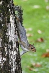 Upside down Squirrel (-SOLO--) Tags: squirrel upsidedown crazytuesday