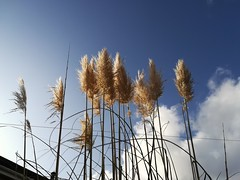 Pampas grass (daveandlyn1) Tags: pampasgrass lookingup bluesky mygarden pralx1 p8lite2017 huaweip8 smartphone psdigitalcamera cameraphone someclouds