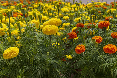 Lot of flowering yellow and orange Tagetes flowers. (loj5407) Tags: medicine flower orange blossom green aroma colorful plant closeup flora yellow bright botany color perennial summer decoration floral decor bloom beautiful buds
