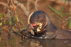 I like fish (renatecamin) Tags: otter pantanal brasilien brazil animal tier wildlife