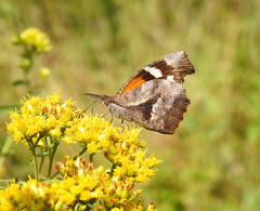 American Snout (annette.allor) Tags: americansnoutbutterfly americansnout libytheanacarinenta