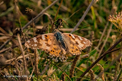 Painted Lady Butterfly (SLHPhotography1990) Tags: 2019 august brighstone military road butterfly painted lady nature british wild life wildlife colours meadow insect vanessa cardui isle wight migrant uk