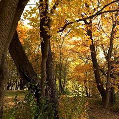 Golden Yellow (halleluja2014) Tags: autumn sunshine october afternoon autumncolors acer platanoides höst falun mapletrees goldenyellow höstfärger lönnar norslund gyllengul maple norwaymaple