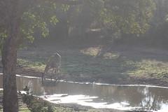 Giraffe Drinking (Rckr88) Tags: krugernationalpark southafrica kruger national park south africa giraffe dam giraffeatthedam drinking drinkinggiraffegiraffe drinkingwaterlakelakesanimalsanimalnaturenatural world outdoors wilderness wildlife