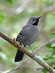 Gravatazeiro (Rhopornis ardesiacus)_6006 FF (Wptjunior) Tags: fotografia foto fauna aves ave bird birdingwatching brasil bahia wptjunior nikon natureza nature photograph photo passaros