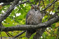 Great Horned Owl (JDA-Wildlife) Tags: birds birdsofprey raptors nikon nikond7100 tamronsp150600mmf563divc jdawildlife johnny portrait closeup eyecontact owls owlgreathornedowl greathornedowl gorgeous