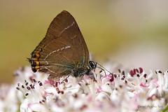 Rabicorta w-blanca (ajmtster) Tags: macrofotografía macro insecto insectos invertebrados mariposa mariposas lepidopteros lycaenydae licenidos satyriumwalbum rabicorta amt wblanca butterfly butterflies papillon farfalle