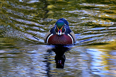 WoodieNice1 (2)Smaller (Rich Mayer Photography) Tags: wood duck woody woodie ducks animal animals wild life wildlife nature swim swimming water waters river lake stream nikon male