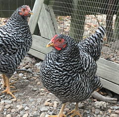 Dominique chickens