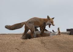 Fox (vulpes vulpes) (Steve Ashton Wildlife Images) Tags: fox mamal vulpes vulpesvulpes cub foxcubs ramsgate port kent