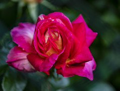 I FIORI COME LI VEDO IO.... (FRANCO600D) Tags: 1127 54 32 ibrido ibridodirosatea rosa fiore flower rosarossa ibridoditea natura flora petali fioritura canon eos6dmarkii 6dmarkii canoneos6dmarkii canon6dmarkii franco600d