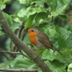 Robin (Treflyn) Tags: robin back garden home earley reading berkshire uk