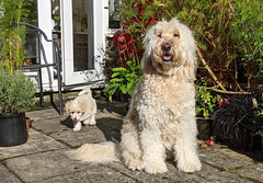 At least one of us poses for photos! (Chickpeasrule) Tags: olive evie goldendoodle crestepoo garden pose dog puppy