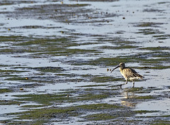 Curlew 1 6 Oct 2019 (Tim Harris1) Tags: nikond7100 nikkor80400afs keyhaven hampshire bird curlew
