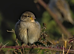 Sparrow 3 6 Oct 2019 (Tim Harris1) Tags: nikond7100 nikkor80400afs keyhaven hampshire bird housesparrow