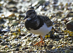 Turnstone 3 6 Oct 2019 (Tim Harris1) Tags: nikond7100 nikkor80400afs keyhaven hampshire bird turnstone