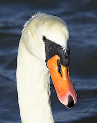 Swan 6 6 Oct 2019 (Tim Harris1) Tags: nikond7100 nikkor80400afs keyhaven hampshire bird muteswan
