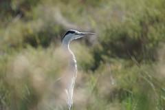 Héron cendré (Nature Action) Tags: héron cendré ardea cinerea grey heron