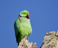 Ring-necked Parakeet (Alan McCluskie) Tags: ringneckedparakeet parakeet birds oiseaux aves bushypark canon7dmk2 sigma150600mmsp